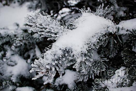 Winter Fir by Tom Carriker