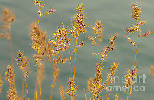 Wispy Grass by Sarah Crites