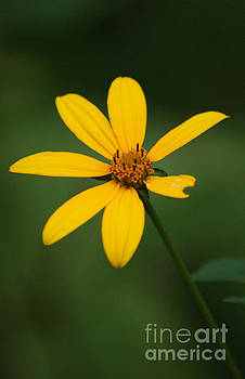 Yellow Pedal Flower by Sherry Vance