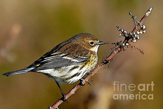 Yellow rumped warbler#1 by Michael Rucci