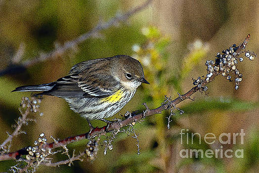 Yellow rumped warbler#2 by Michael Rucci