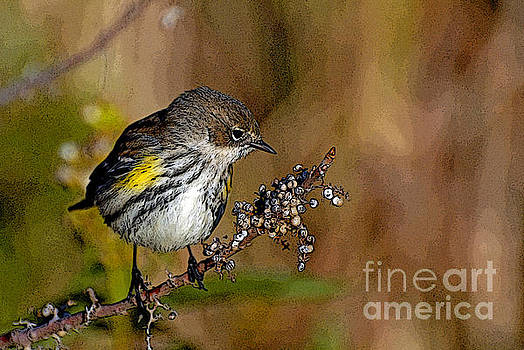 Yellow rumped warbler#3 by Michael Rucci