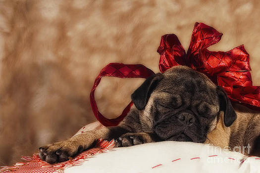 A beautiful pug sleep by Van K Bazaldua