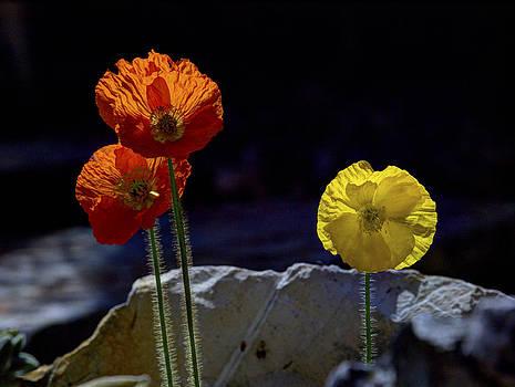 And One Yellow. The Iceland poppy trio.  by Joe Schofield