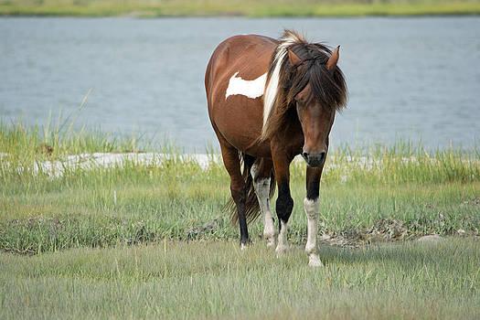 Assateaque Pony by Carla Mason
