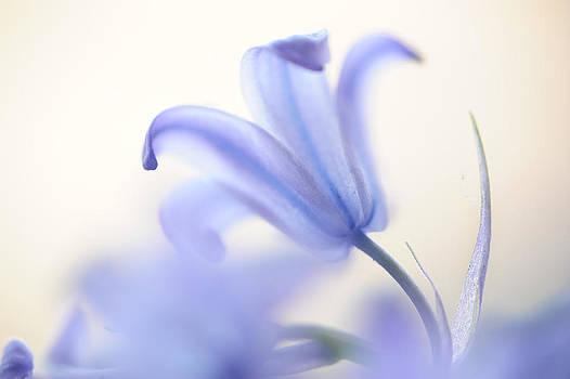 Jenny Rainbow -  Blue Light. The Wild Hyacinth