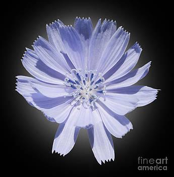 Cichorium intybus by Tony Cordoza