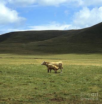 BERNARD JAUBERT -  Cow and calf. Aubrac . France.