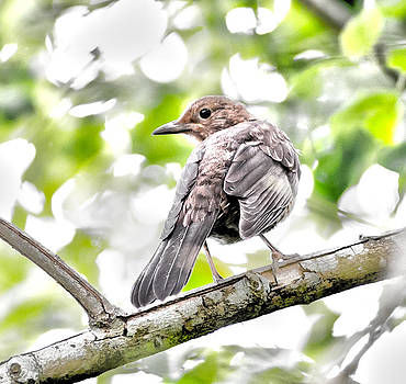 Steven Poulton -  Fledgling Blackbird