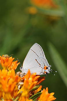 Gray Hairstreak on Butterfly Weed by Dick Todd