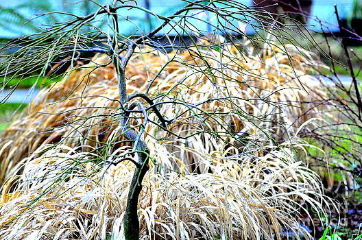 Japanese Maple and Japanese Forest Grass in Winter by Tanya  Searcy