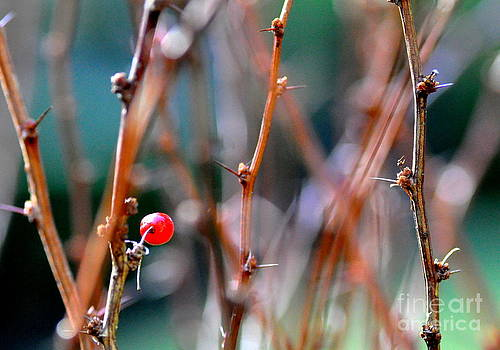 Last Berry on a Barberry Shrub by Tanya  Searcy
