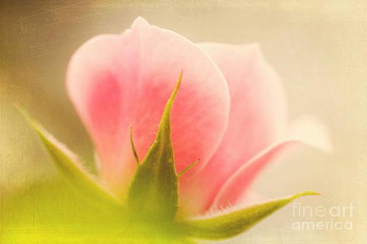 Misty Rose by Dolly Genannt
