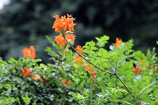 Northwest Flower by Frank Jackson