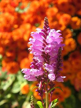 Alfred Ng -  Pink Obedient Plant flower