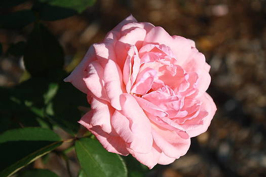 Pink Rose by James Lawson
