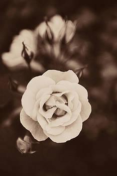 Rose still life in sepia by Lars Hallstrom