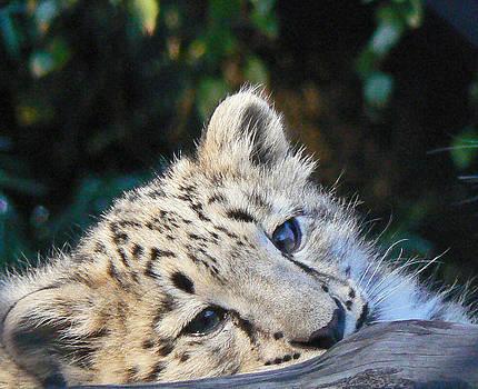 Margaret Saheed -  Snow Leopard Cub