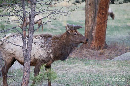 Spring Elk by Erika Weber