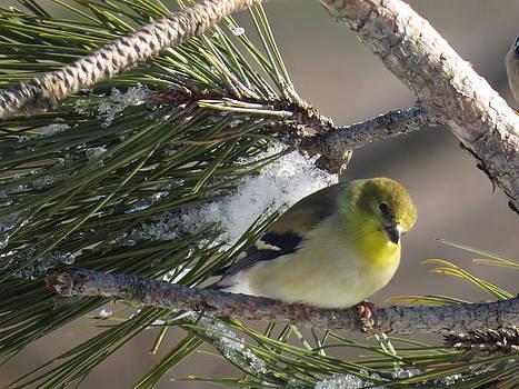 Yellow Winter Finch by David Lankton