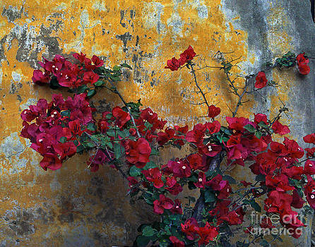 028 Mission Bougainvillea by Lawrence Costales