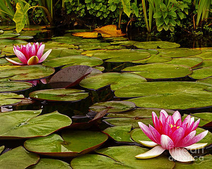 059 Two Water Lily Flowers by Lawrence Costales