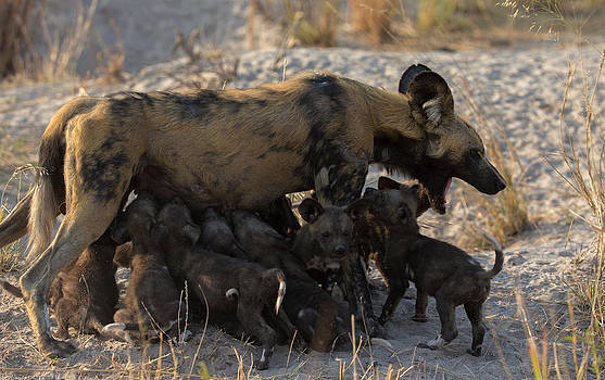 A Large Group Of African Wild Dog by Beverly Joubert
