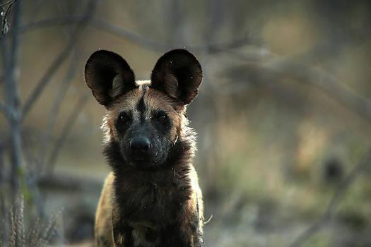 A Portrait Of An African Wild Dog by Beverly Joubert
