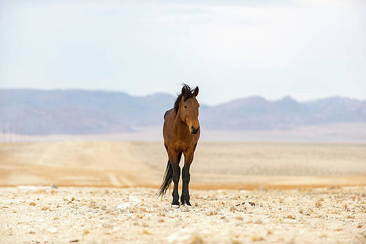 A Wild Horse, Equus Ferus, On The Dusty by Alex Treadway