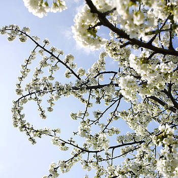 BERNARD JAUBERT - Apple tree