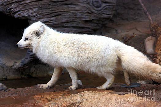 Nick Gustafson - Arctic Fox Profile