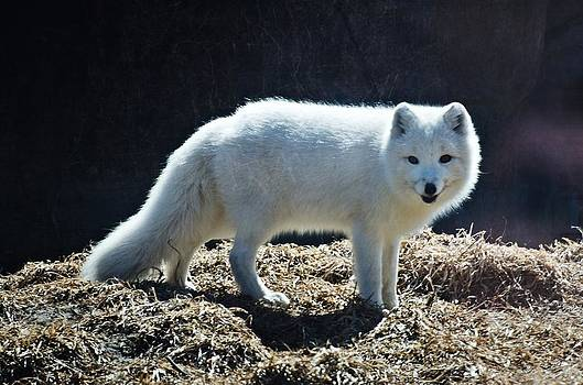 Artic Fox by Cheryl Cencich