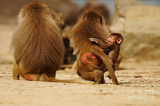 Nick  Biemans - Baboon family in the desert