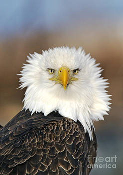 Jim Zipp - Bald Eagle