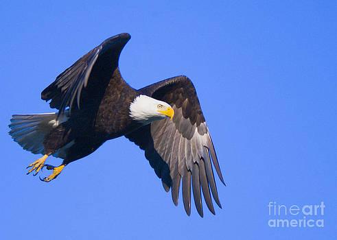 Bald Eagle by Kari Marttila