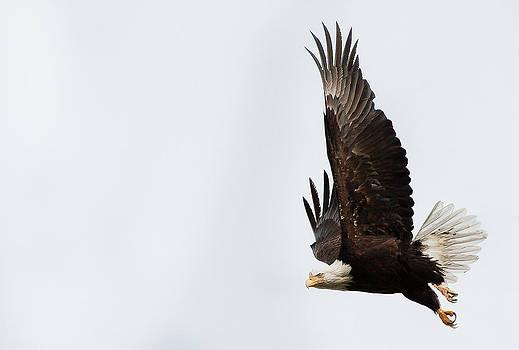 Bald Eagle by Wesley Allen Shaw