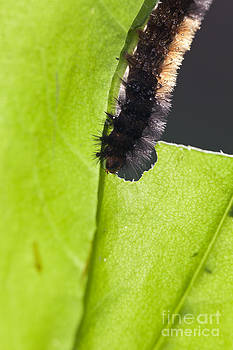 Banded Wooly Bear Caterpillar Eating A Leaf by Brandon Alms