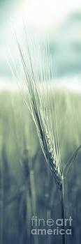 Barley by Hannes Cmarits