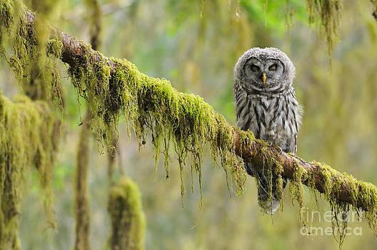 Thomas and Pat Leeson - Barred Owl Strix Varia Owlet