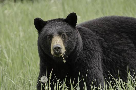 Beautiful Black Bear Eating Dandelions by Lisa Hufnagel