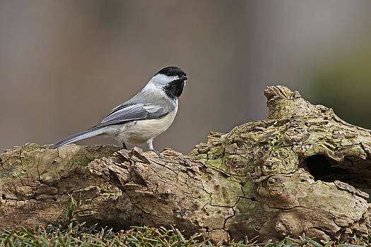 Black Capped Chickadee by Jim Nelson