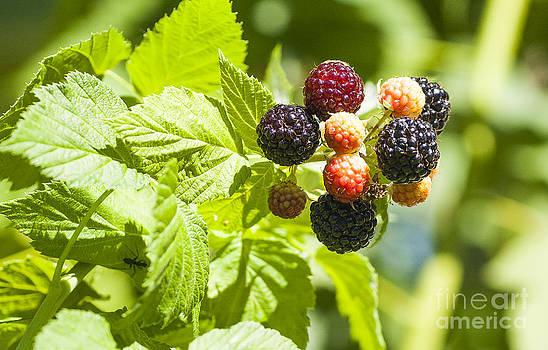 Steven Ralser - black raspberries