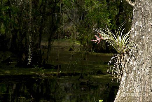 Blooming Bromiliad by Carol McCutcheon