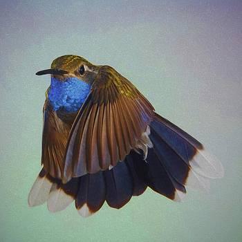 Gregory Scott - Blue-Throated Hummingbird - Wings  Forward