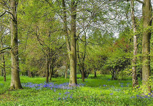 Bluebell Spring by Trevor Kersley