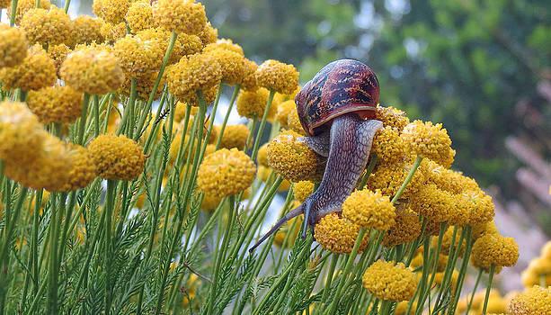 Brown Garden Snail by Walter Klockers