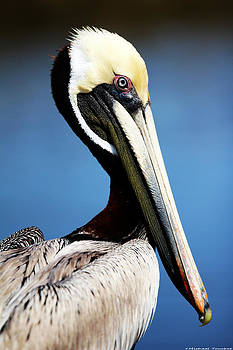 Brown Pelican by Michael Touchet