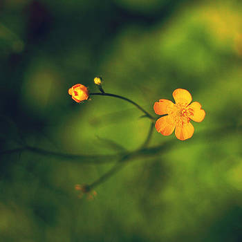 Buttercup by Patrick Horgan