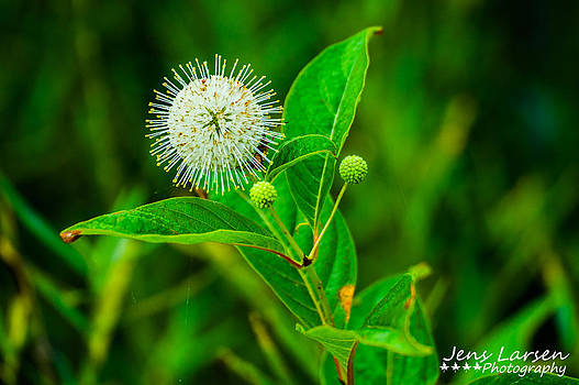 The Buttonbush Flower by Jens Larsen
