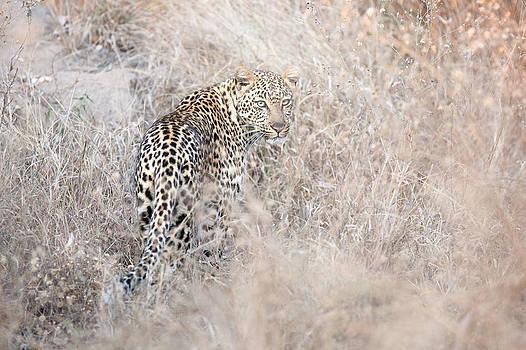 Camouflaged leopard by Christa Niederer